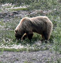 Bear in Denali National Park