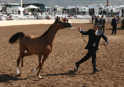 Young horses being judged at the Scottsdale Arabian Horse Show