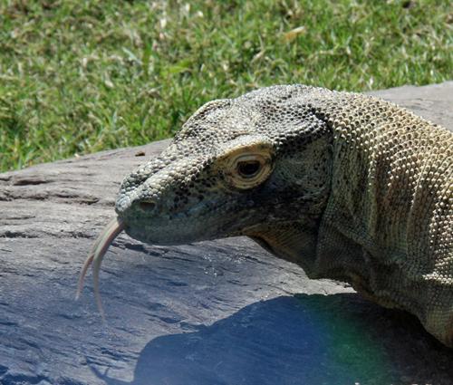 Komodo Dragon at the Phoenix Zoo