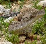 Sweetwater Texas Rattlesnake Round Up