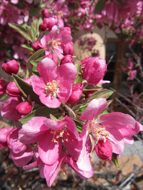 Spring Blossoms in Santa Fe