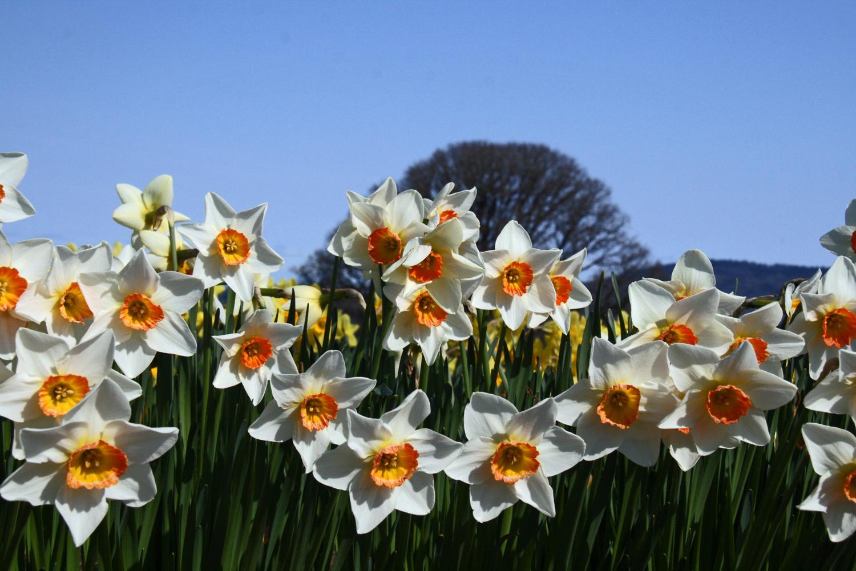 Amity Daffodils