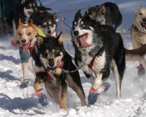 Huskies pulling the dog sled