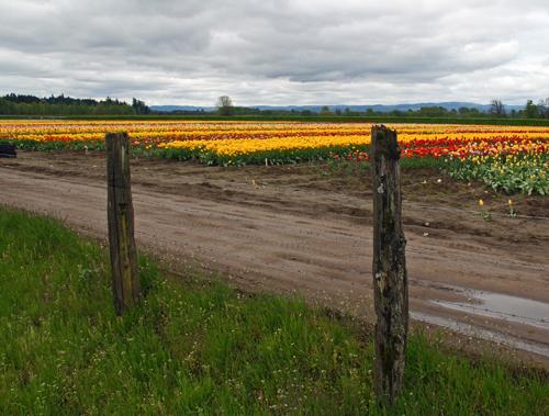 Holland America Tulip Fields