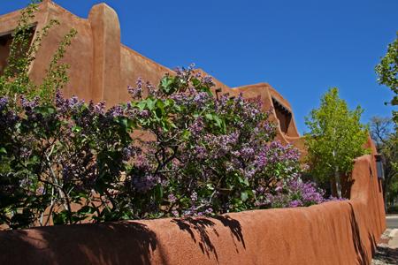 Lilacs bloom in the spring near Santa Fe's Plaza