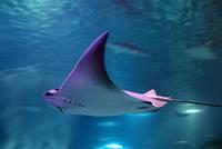 Tempe Aquarium - Ray